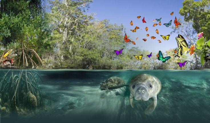 De Mangrove in Burgers' Zoo is gebaseerd op de mangrovebossen van het Midden-Amerikaanse land Belize. Mangroves worden weleens de kraamkamer van de oceaan genoemd, omdat veel vissoorten in de mangrove het levenslicht zien, die later op volwassen leeftijd naar de oceaan trekken.