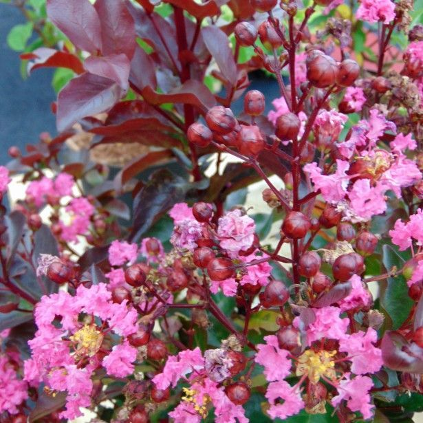 Lagerstroemia+Rhapsody+in+PINK+-+Lilas+des+Indes