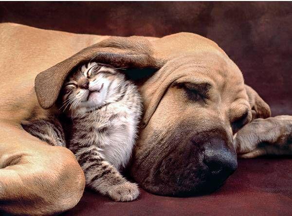 Tierno puzzle de 500 piezas de un cachorro de gato dormido bajo la oreja de un perro adulto. Marca clementoni en venta en Puzzlemania