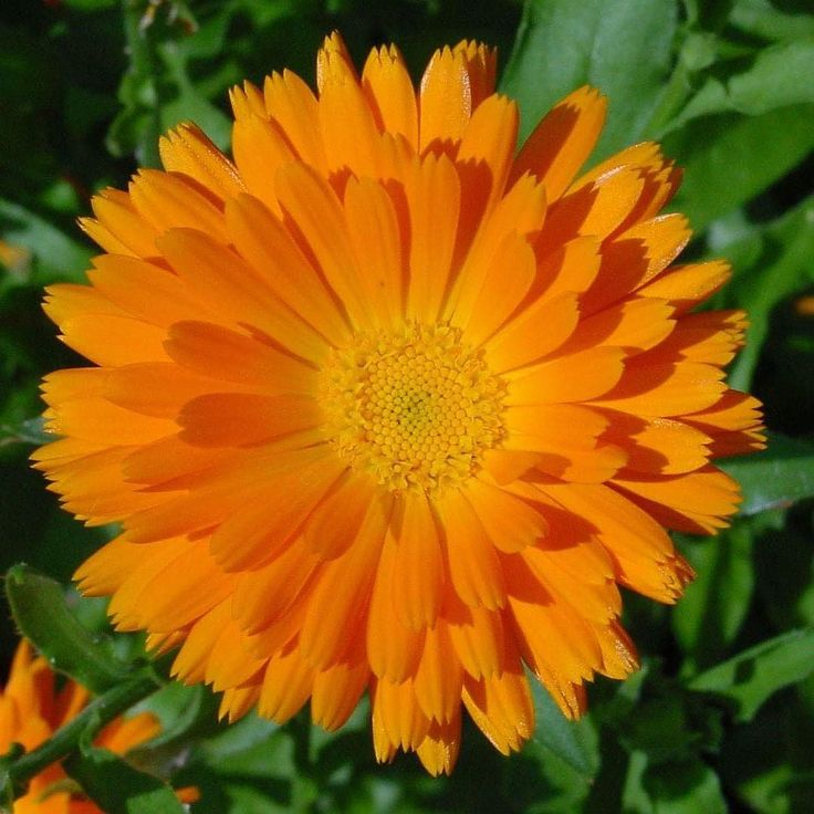 The bright and beautiful golden yellow Calendula flower has a relaxing and grounding effect contributes to feelings of centeredness and balance and supports digestion and skin health when taken as our FlorAlchemy tincture. Calendula Flower Essence Tincture contains an extract of flowers flower essences & a biocompatible level of essential oil.