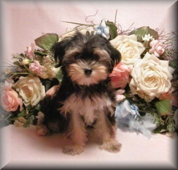 morkie puppies | Morkie puppies for sale