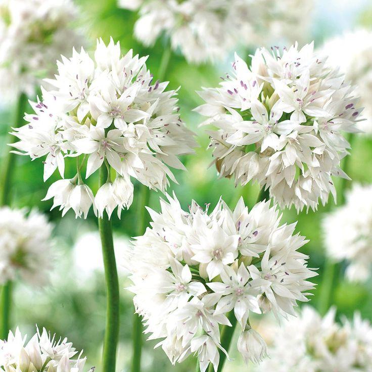 Unique Allium Graceful Beauty er Pack Kugelige Bl tenform mit wei en sternartigen Einzelbl tchen Lilafarbene Staubbl tter