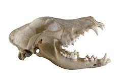 Cranio Canino Del Cane Foto Stock – 163 Cranio Canino Del Cane Immagini Stock E Fotografie Stock - Dreamstime