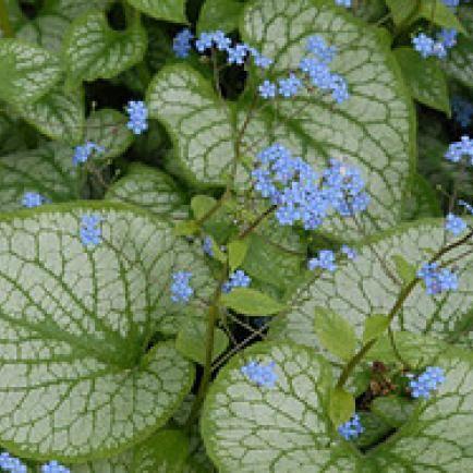 Kaukasus-Vergissmeinnicht Brunnera macrophylla 'Jack Frost' ®