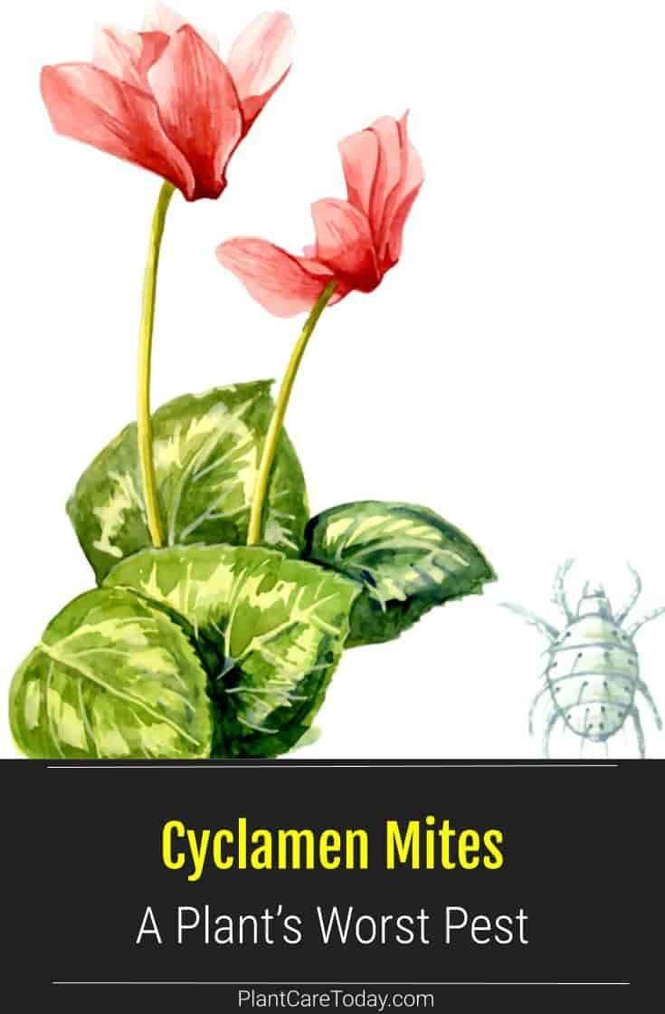 Cyclamen Mites Cyclamen Plant S Worst Pest Plant Pests Plants Pests