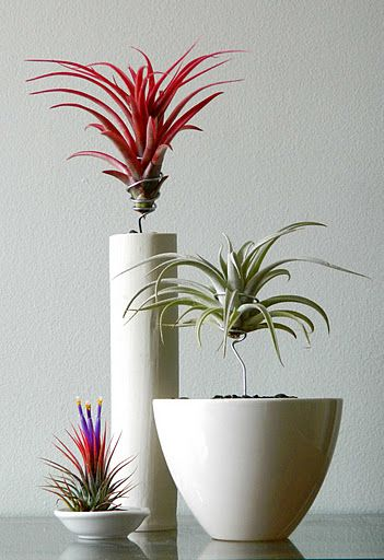 Airplants; notice that they are suspended by wire above their pots. Cool idea!