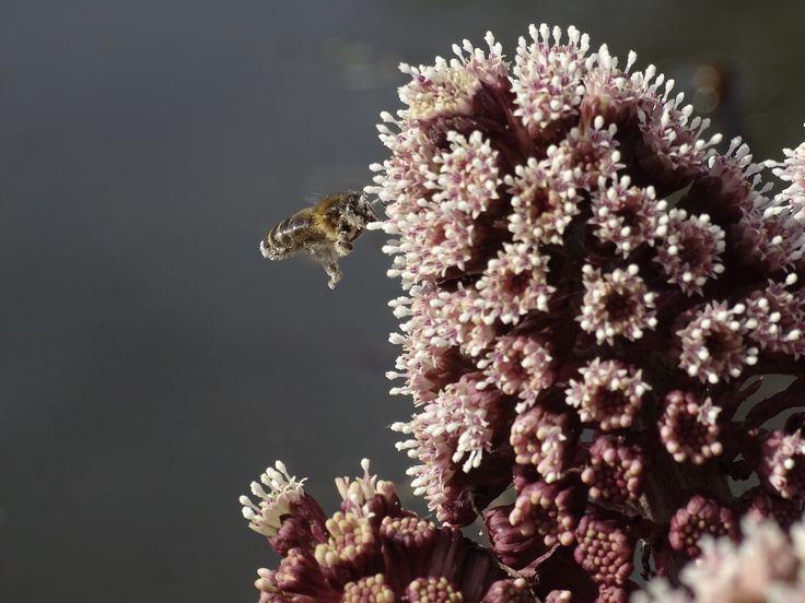 fotografie nature insects flower Het groot hoefblad staat in bloei en er vliegt een bijtje bij. Heerlijk dat het voorjaar begonnen is