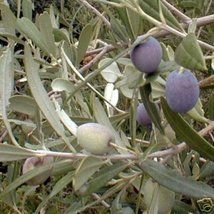 ARBEQUINA OLIVE FRUIT TREE COLD HARDY / Zones 7 and above Self Pollinating 1-2 Feet tall Here's your chance to own your own Olive Tree. The Arbequina Olive Trees originated in Catalonia Spain. They will produce within 2-3 years after plantin...