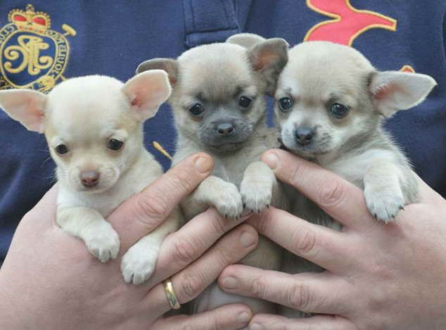 Image By Helen Davis On How Adorable Teacup Chihuahua Puppies
