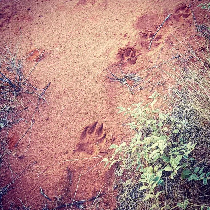 """14 Likes, 1 Comments - Janice Edwards (@janjayed) on Instagram: """"This was as close as I got to a dingo lucky for me. #dingo #footprints #yulara #Uluru…"""""""