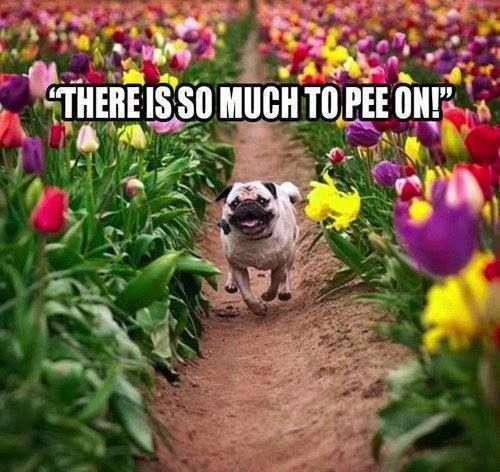 BAHAHAHAHAHA! I just can't stop laughing right now. CanNOT. #pugs #funny