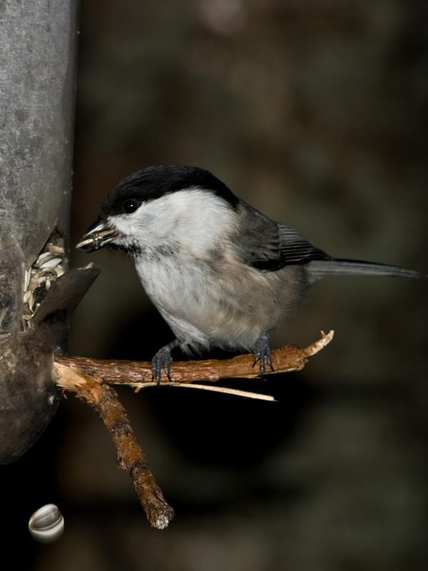 Picture of Willow tit (Poecile montana) – A fearless bird