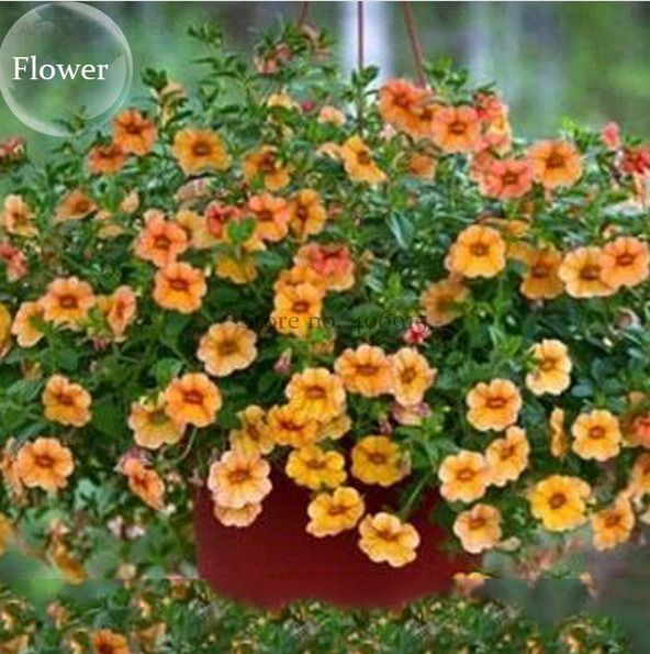 Hanging Orange Morning Glory Flower Petunia Seed 50 Seed Beautiful Gardens Petunias Flowers