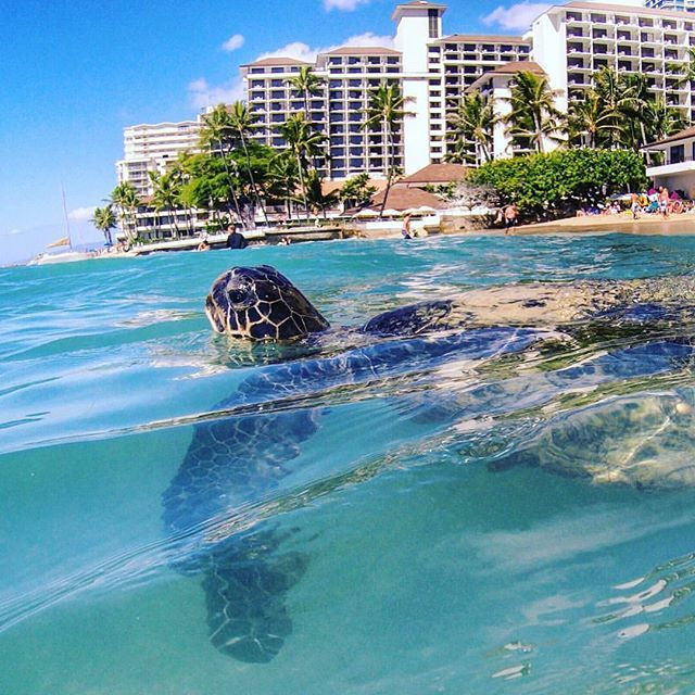 📸: Had the pleasure of an afternoon swim with this guy 😍🐢 Check out this week's post for the best locations to meet him for yourself!   www.thegirlswhowander.com  #thegirlswhowander #honu #turtles #magical #snorkeling #oahu #hawaii #usa #america #SheratonWaikiki #photography #travel #instatravel #nofilter #havealohawilltravel