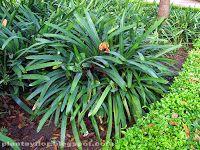 Clivia cyrtanthiflora