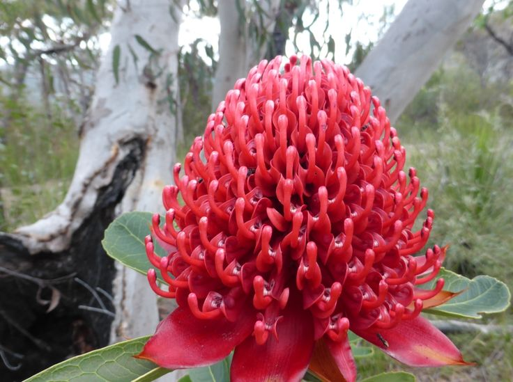 A waratah, the state floral emblem of New South Wales, Telopea speciosissima. They are fussy about where they grow.