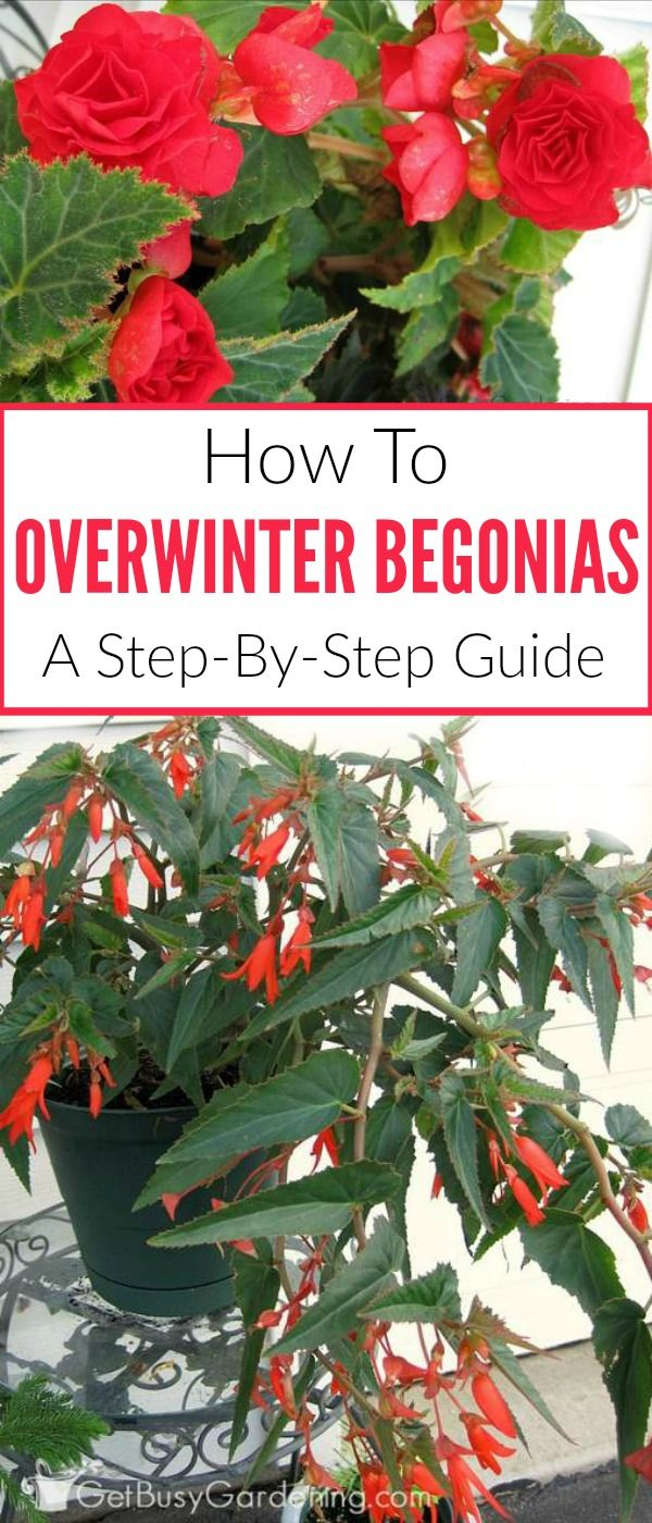 Tuberous begonias can easily be overwintered inside the house, and grown for years to come. Here are steps for overwintering begonias in pots.