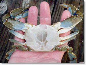 How to clean blue crab prior to cooking.