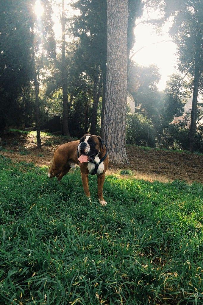 Come procede l'estate di Ben, il cane amico di Alessia Marcuzzi? #boxer #cane #città