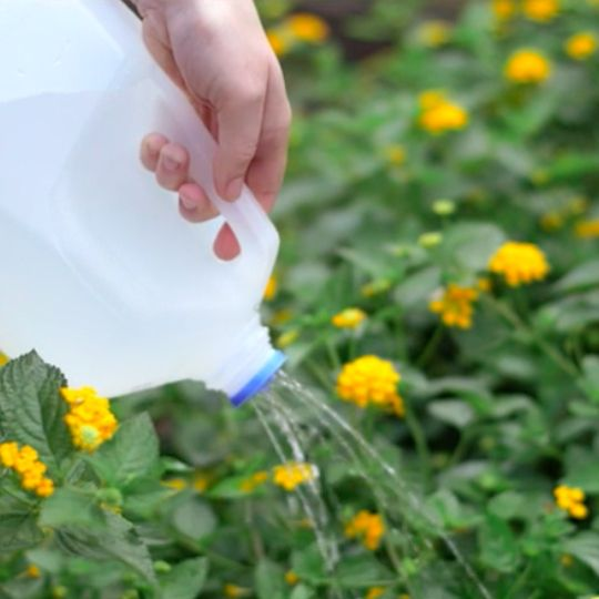 Water is like mother's milk to your plants, so learn how to turn a gallon milk jug into a watering can.