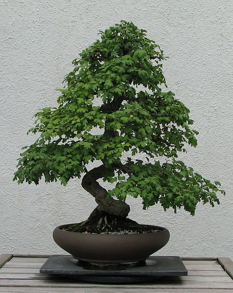 English Hawthorn Bonsai Tree (Crataegus) - very pretty
