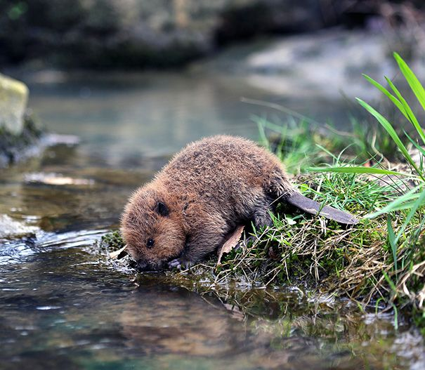 This Is An Orphan Rescue Baby Beaver Who Had Lost Its Mommy