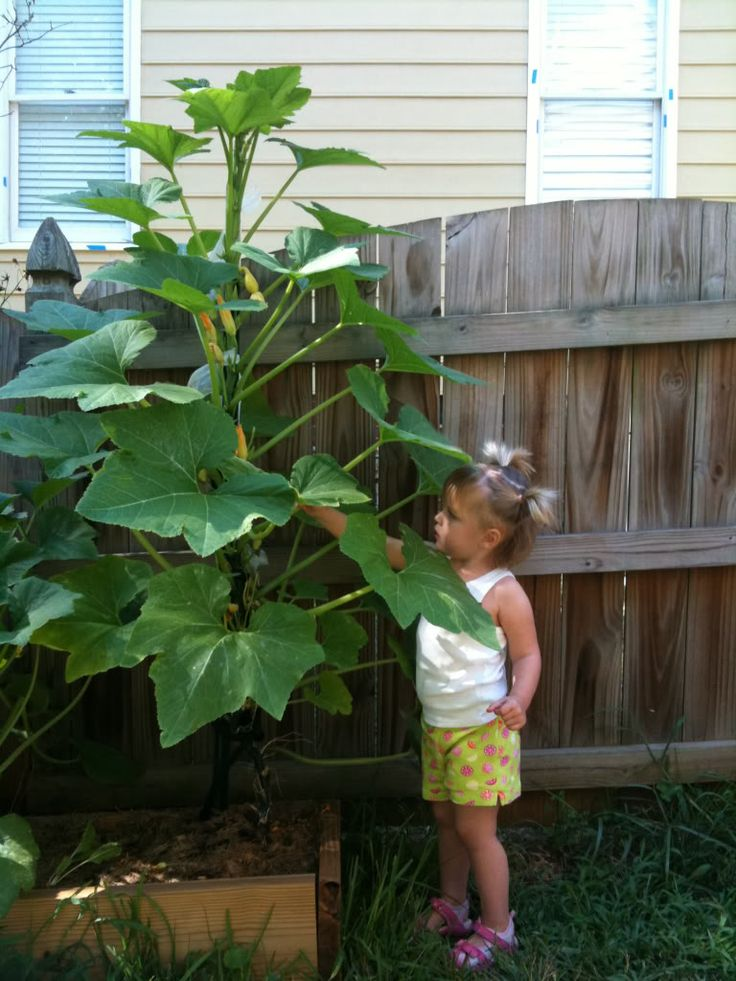 Growing squash and zucchini plants vertically.  Great for a small space!