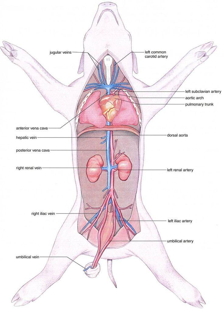 12 best images about fetal pig on pinterest | horns, thoracic, Skeleton
