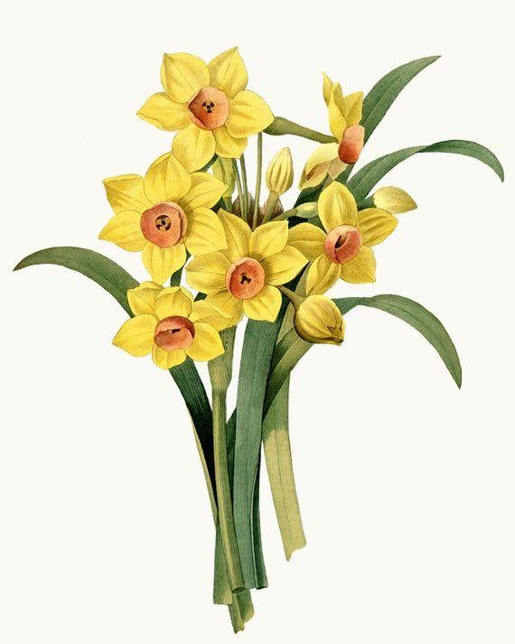 Vintage Flower Clipart Digital Download Daffodils Illustration Commercial Use Transparent Background Png File In 2020 Flower Illustration Daffodils Spring Flowers