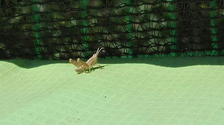 Saranče (Chorthippus montanus) naše trampolína