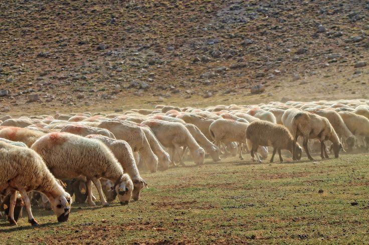 Plateau Korkuteli Antalya Türkiye... #photography, #antalya, #turkey, #urav, #sheep, #nature
