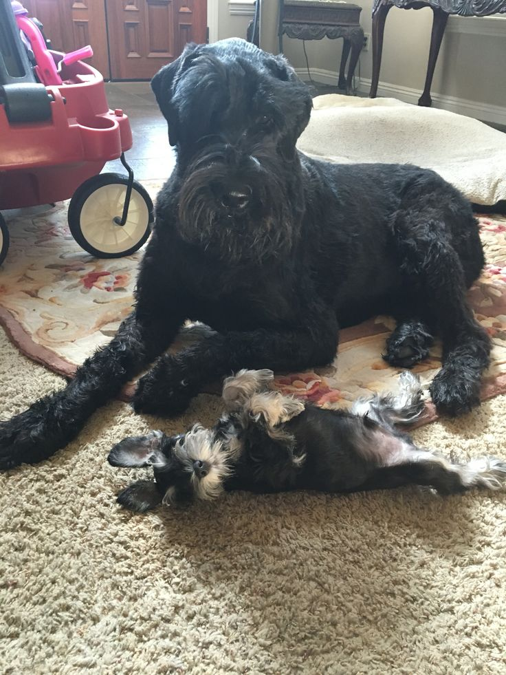 Giant Schnauzer Logan playing with 10 week old mini schnauzer puppy Kirby💙*