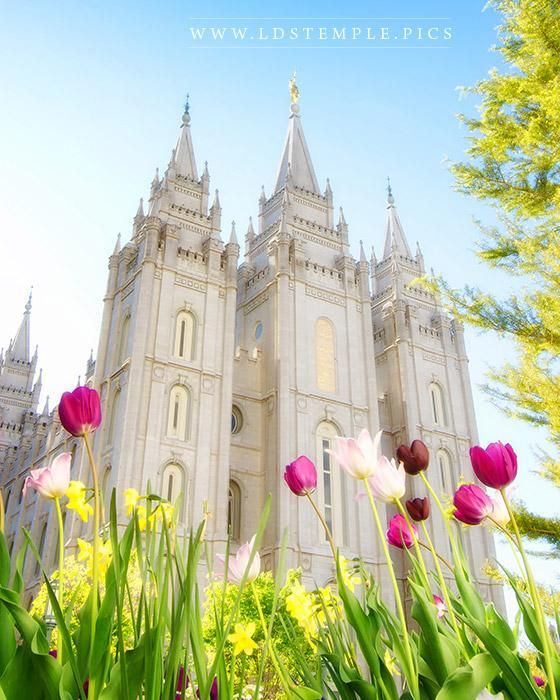 The beautiful tulips on the grounds of the Salt Lake Temple.