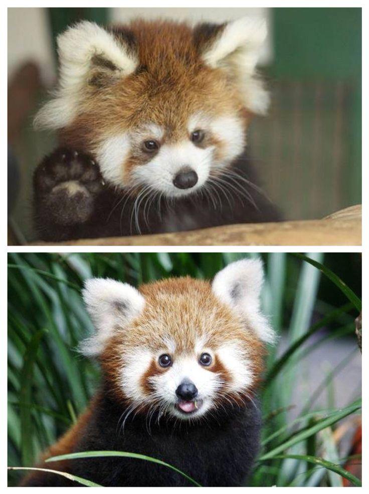 Cucciolo di panda rosso
