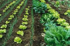 Você gostaria de ter uma horta orgânica no quintal de casa e colher frutas, verduras, legumes e hortaliças frescas e livres de agrotóxicos sempre que precisasse? Se sua resposta é sim, confira como montar e cuidar desse cantinho especial, mesmo que ele seja apenas em um vasinho na cozinha.
