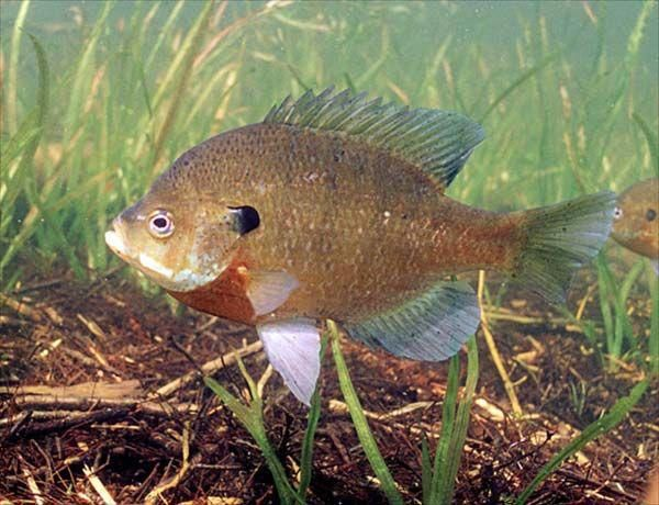 Male Bluegill Dad Loved Fishing For Bluegill Fish Fish Pet Camping Near Me