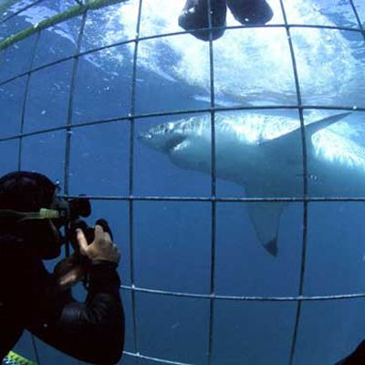 Ultimate adrenalin rush a close encounter with a great white shark.  Great White Shark Tours