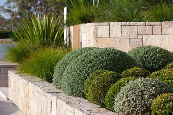 I love the variation of colors in this garden. The silvery green of the Westringia is a beautiful contrast to the crisp green of the Buxus. The repetition of shapes with the interruption of the spikey leaves of the phormium adds drama