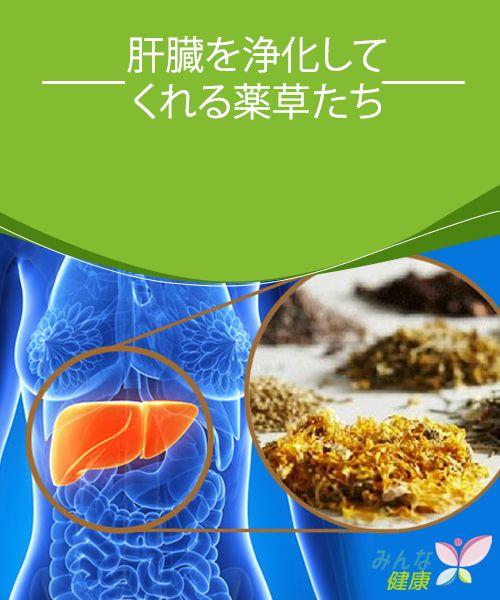 肝臓を浄化してくれる薬草たち 肝臓はあなたのカラダの中で最も大切な器官。健康に暮らすために大事にしなくてはなりません。その他の内臓が正しく機能するかどうかは、あなたがどれだけ肝臓を大切にするかにかかっていると言えます。