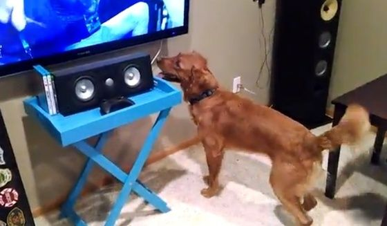 Golden Retriever's adorable reaction when watching tennis on tv (VIDEO) » DogHeirs | Where Dogs Are Family « Keywords: Golden Retriever, tennis, watch tv, TV
