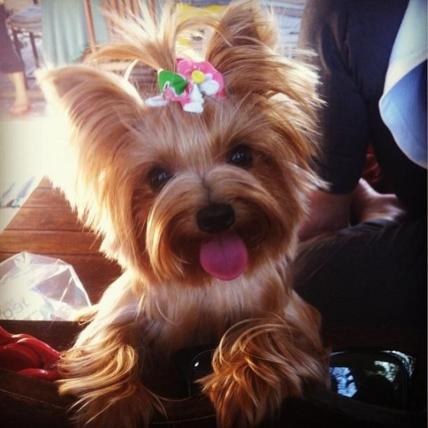 yorkie.. i think i just might get one of these cutie patooties some day <3