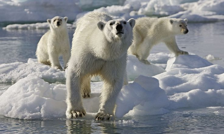 NOUVEAU RICHE DOES NOT BUY CLASS..TRANSLATED...MEANS NO CLASS WHATSOEVER..Rich Chinese thrill seekers paying £50,000 for 'trip of a lifetime…' to kill endangered polar bears