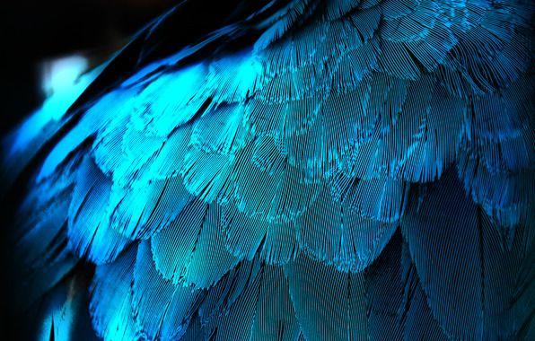 Обои картинки фото перо, перья, крыло, синяя, макро