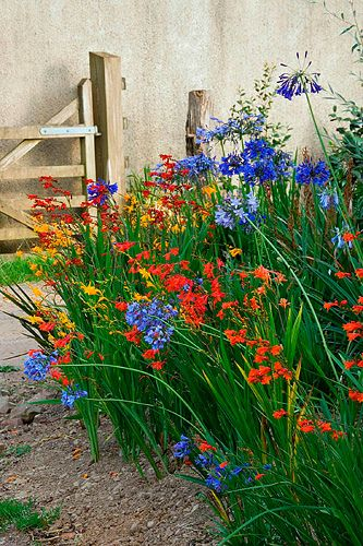 ~~Devon agapanthus: Agapanthus and crocosmia in the nursery by Clive Nichols~~. Love this picture of these flowers that do well here in SC.