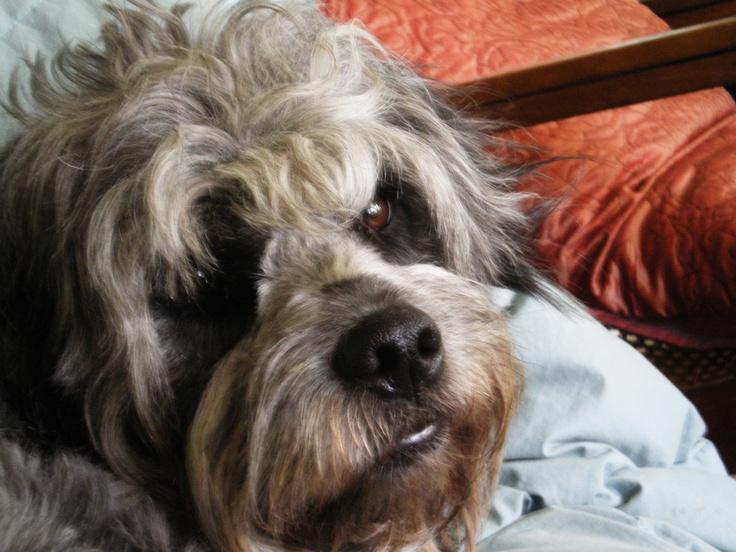 1000+ images about Beautiful Mutts on Pinterest   Pug chihuahua mix ...