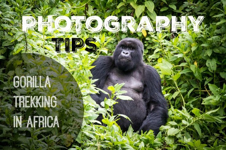 Want to take great photos on your gorilla trek in Africa? Look no further, all the tips you need and more to create the best photos you can.