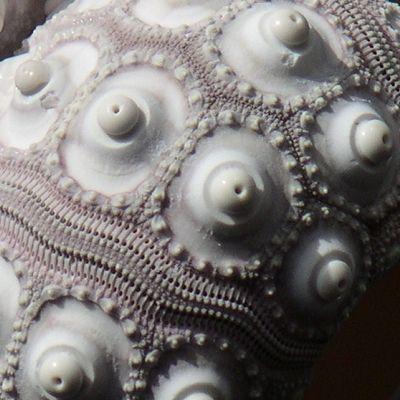 Sputnic Sea Urchin | Sputnik Sea Urchin | Seashells | Beach shells - buy the sea