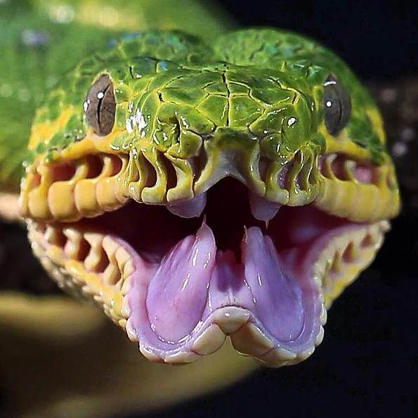 Emerald Tree Boa - submisc-20dec-biteme1-Leigh Colman