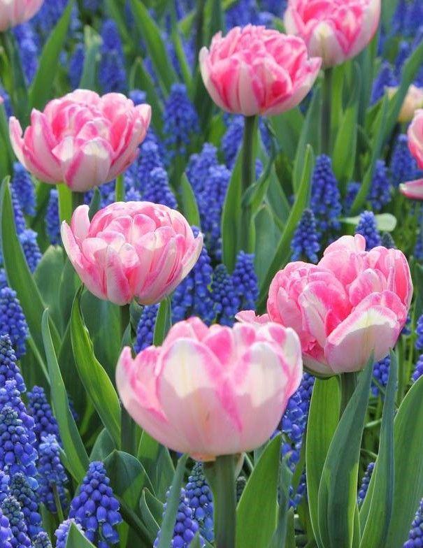 Keukenhof, Netherlands, Garden, Folwer, Tulip, Flower, Spring