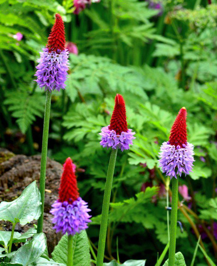 Rare+Unusual+Vial's+Primrose+Primula+vialii+-+25+Seeds